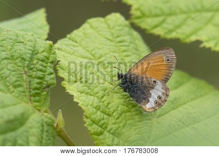 Pearly Heath (Coenonympha arcania) butterfly resting on a Leaf of a Shrub