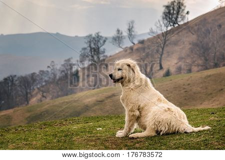 White romanian shepherd dog paying attention to sheep up on the hills on a cloudy day. Very early spring time of the year brown tones landscape.