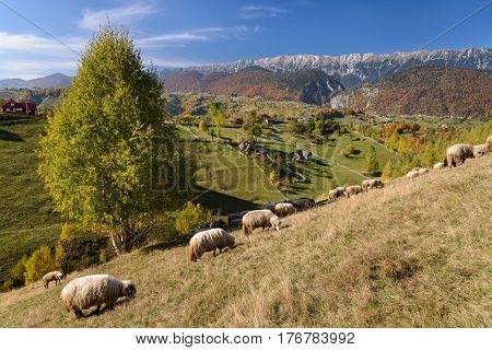 Alpine landscape with grazing sheep in the foreground and Piatra Craiului mountains in background. Early fall near Brasov Transylvania Romania Europe