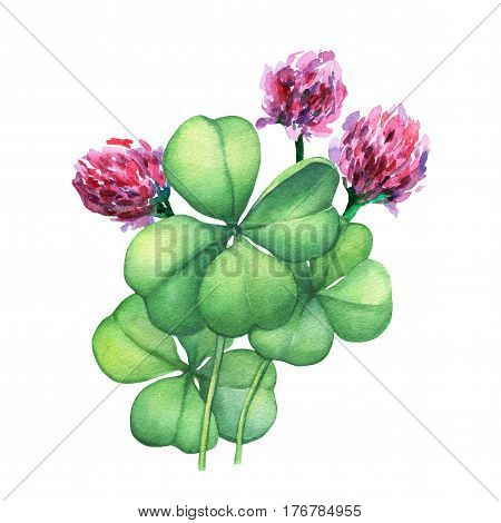 Green four leaf clover with pink flowers. Hand drawn watercolor painting on white background.