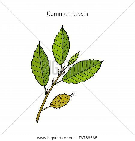 Beech branch with leaves and fruits. Hand drawn botanical vector illustration