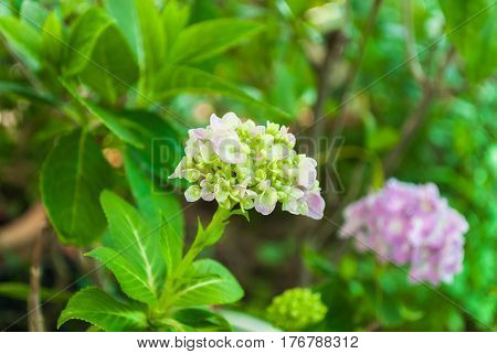 Closeup To Beautiful Pastel Pink Hydrangea/ Hortensia Flower