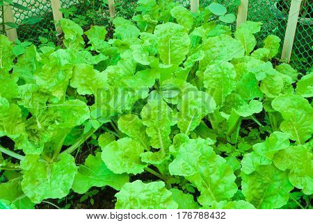 Closeup to Light Green Chinese Cabbage/ Napa Cabbage