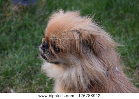 pekingese dog, vacation in spring day. old small dog