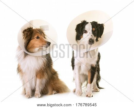 two dogs and protective collar in front of white background