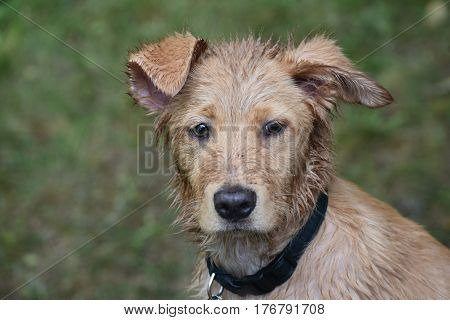 Very wet and muddy face of a Nova Scotia Duck Tolling Retriever.
