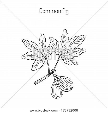 Common fig Ficus carica . Hand drawn botanical vector illustration