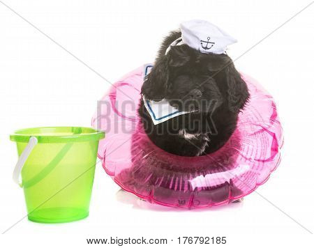 puppy newfoundland dog in front of white background