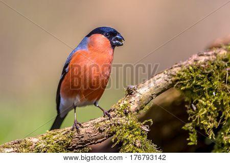 Bullfinch Perched On Branch