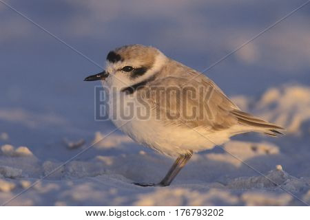 A Snowy Plover, Charadrius nivosus on the white sand of Siesta Key, Florida near sunset