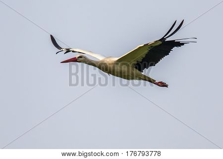 Flying White Stork On Cloudy Background