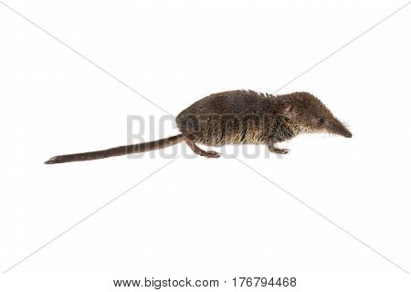 Pygmy Shrew On White Background