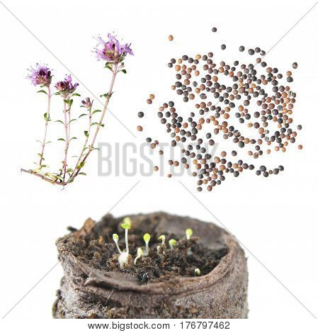 Flower, seeds and seedling of wild thyme (Thymus serpyllum) isolated on white background