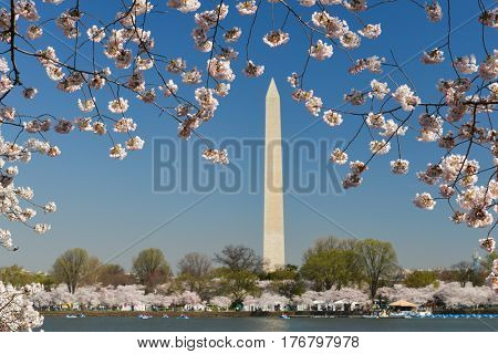 Washington DC in springtime - Washington Monument during Cherry Blossom Festival
