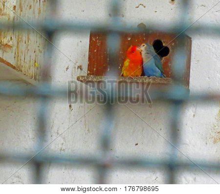 Blue Parakeet Lovingly Kissing a Red Parakeet
