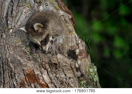 Young Raccoon (Procyon lotor) Chews on Tree - captive animals