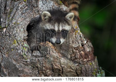 Young Raccoon (Procyon lotor) Peers Out from Knothole - captive animal