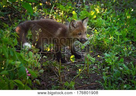 Red Fox Kit (Vulpes vulpes) in Shade - captive animal