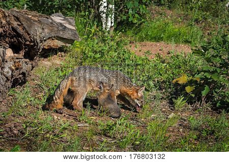 Grey Fox Vixen (Urocyon cinereoargenteus) and Sitting Kit - captive animals