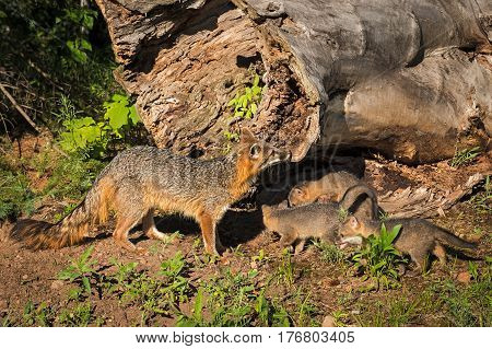 Grey Fox Vixen (Urocyon cinereoargenteus) and Kits Near Log - captive animals