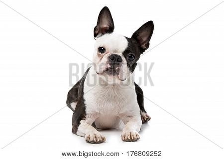 Studio Shot Of An Adorable Boston Terrier