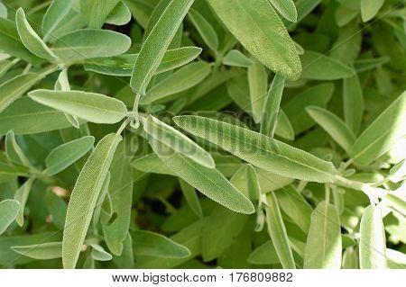 Green Fresh Leaves Of Salvia