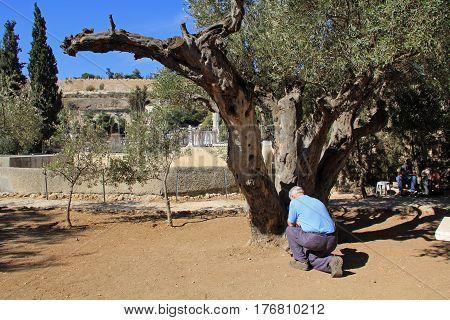 JERUSALEM, ISRAEL - OCTOBER 25, 2013:  Older man kneeling and bowing to pray in the Garden of Gethsemane in Jerusalem, Israel.