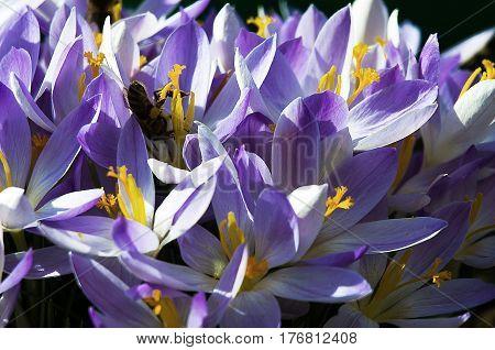 Small Spring Flowers Blooming Crocuses Gently