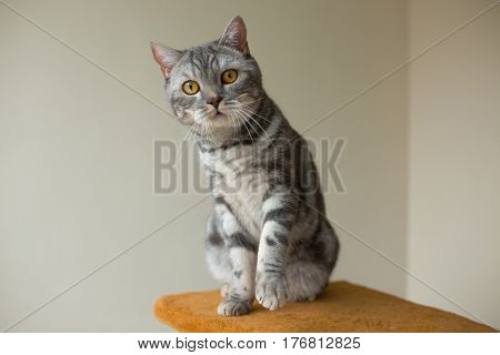 cute gray scottish straight cat looking at you attentively
