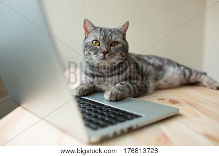cute scottish straight gray cat working at the computer online