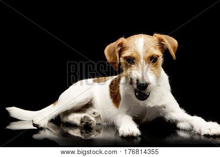 An Adorable Jack Russell Terrier Chewing A Bone