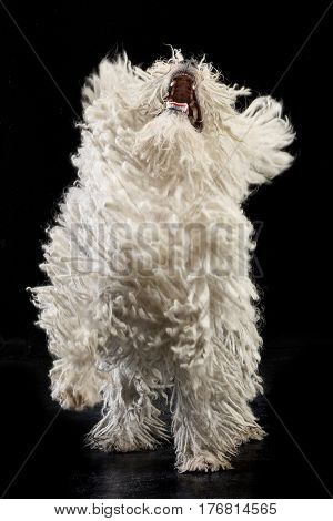 Studio Shot Of A Barking Puli