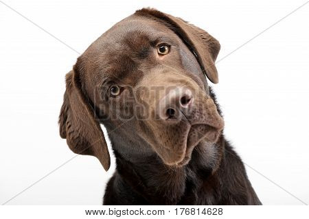 Portrait Of An Adorable Labrador Retriever
