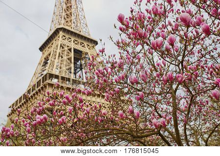 Magnolia Flowers With Eiffel Tower In Paris