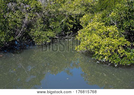 Florida salt marsh with dense mangrove tree foliage and still water