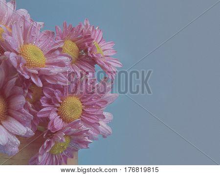 Beautiful chrysanthemum as background picture. Chrysanthemum wallpaper. (vintage)