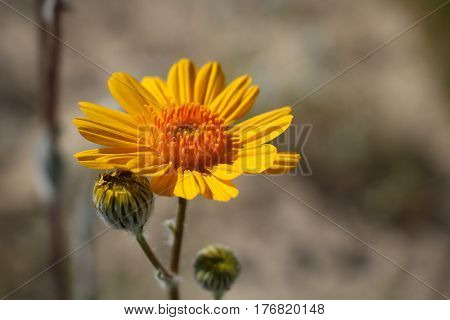 Closeup of one Desert Sunflower blossom and two buds from wildflower bloom in Anza Borrego Desert, California; copy space.