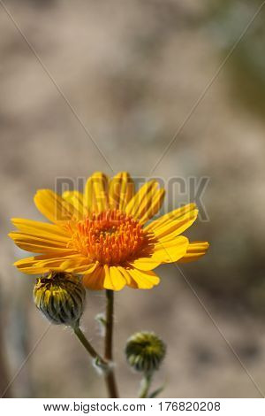 Closeup of a single Desert Sunflower and two buds with copy space above, Anza Borrego Desert, California, wildflower bloom