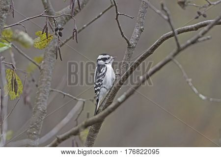 Female Downy Woodpecker in the Forest on Mirror Lake State Park in Wisconsin