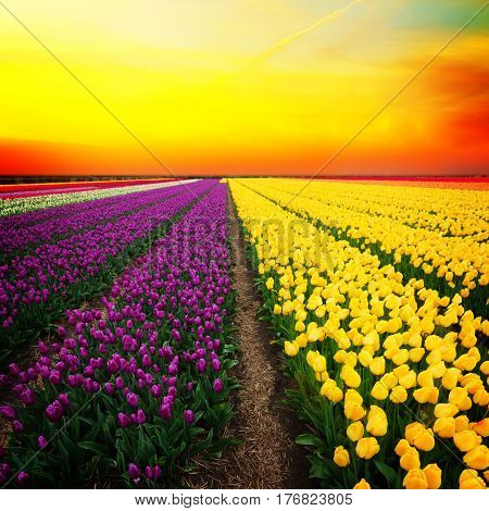 Famouse dutch yellow and violet tulip field with rows in sunset light
