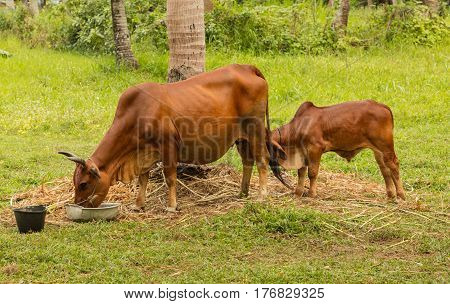 A brown cow with her calf feeding in a lush green field on a farm in Vietnam.