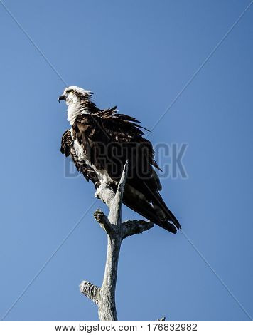 An osprey standing on the top of a tree with its feathers ruffled in the wind