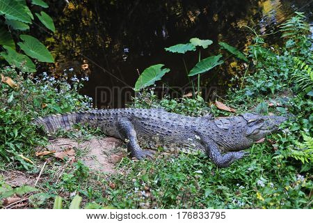 Travel to National Park Khao Yai Thailand. A crocodile on the grass near the river.