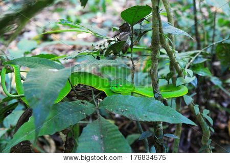 Travel to National Park Khao Yai Thailand. The green snake between leaves on the branch of a tree.