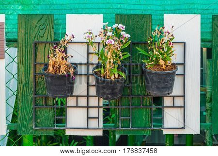 Dying Dianthus Flowers Hanging on Fence .
