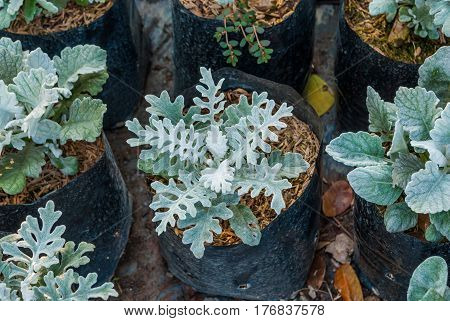 Closeup to Dusty Miller Plant Senecio Cineraria DC.