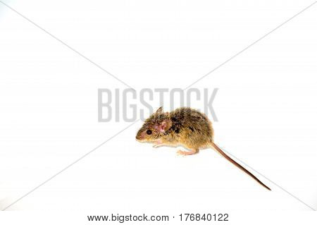 house mouse (Mus musculus) on white background side view full length with tail