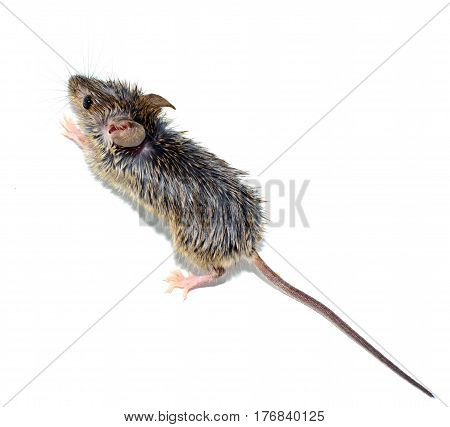 house mouse (Mus musculus) on white background close-up. Dirty fur. Full lenght with tail