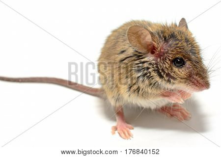 house mouse (Mus musculus) on white background Close-up looking right