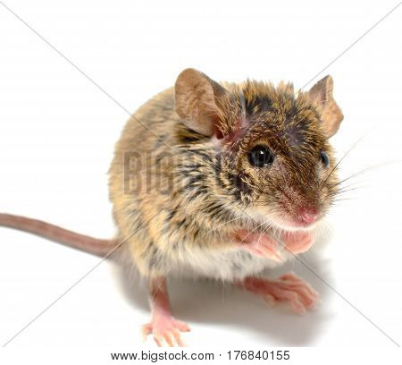 house mouse (Mus musculus) on white background Close-up on back legs